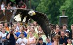 Bald eagle in flight by marble911