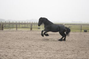 Friesian Stallion 20 by PerfectionStock