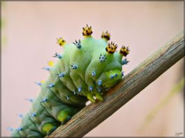 Cecropia moth larva - 3 by J-Y-M