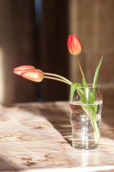 Tulips in the morning by terrikons