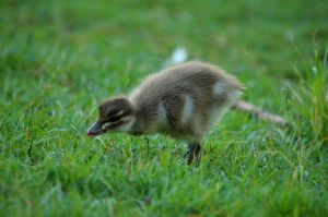 Duckling by 13MorbidMouse13