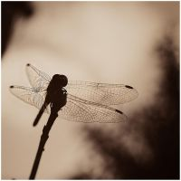 untitled anisoptera by amsterdam-jazz