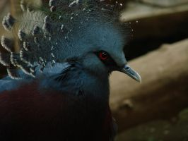 Blue Beauty - Crowned Pigeon by roamingtigress