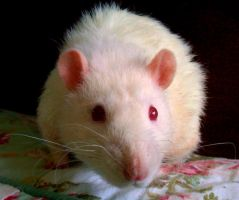 Socrates - white rat stock by Rhabwar-Troll-stock