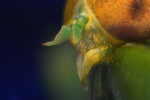 Horsefly Mouthparts by Enkased