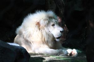 White Lion by Celem