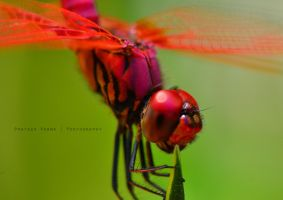 Red dragonfly by prateekverma23