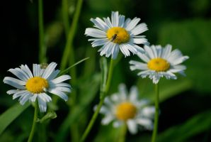 Little White Daisies by MNgreen