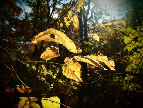 Sun Shining on Autumn Leaves by LovingInTheLongGrass