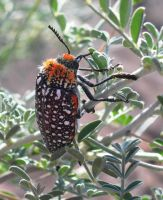 Fuzzy Beetle by Serendith