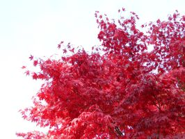Red Dragon Maple Takes Flight by bluedragoneye