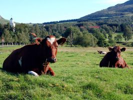 Sitting Cows by quentinwrites
