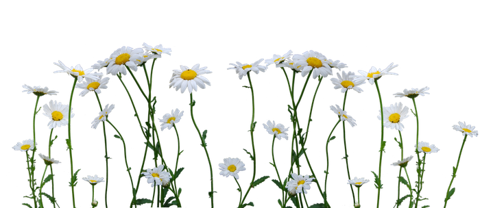 Daisies by Eirian-stock