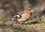 Chaffinch by miirex