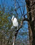 Great Egret IV by netta43