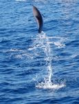 Atlantic Spotted Dolphin by drokkie