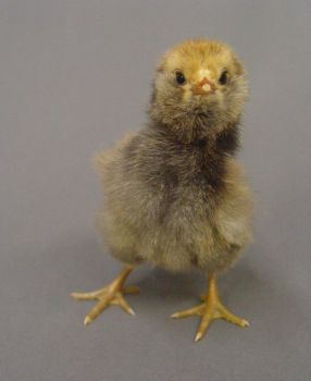 Fluffy chick stock 5 by InKi-Stock