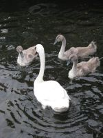 Animals 097 swan with young by Dreamcatcher-stock