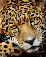 Jaguar by andie252