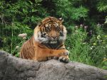 tiger in the zoo by mdbruin