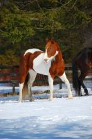 Pinto Horse 20 by ErikaChristine
