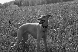 Italian greyhound by L5R1S8