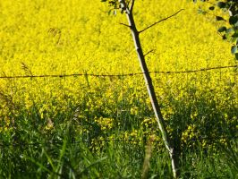 Canola fields by chobo-ling