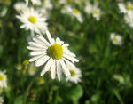 Daisies by SalmasPhotos