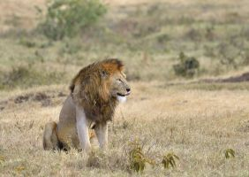 lions, Tanzania by laogephoto