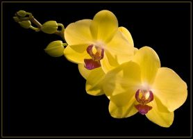 TWO MORE ORCHIDS by THOM-B-FOTO