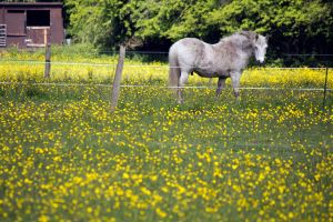 Horse in a Buttercup Field by Takeshi-Toga
