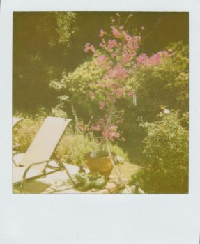 Bougainvillea by IsabelInLalaLand