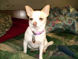My new puppy Carly by mystangelwingsstock