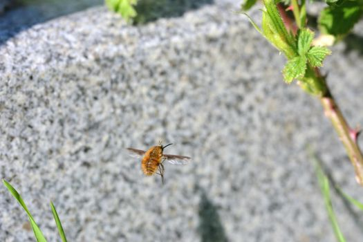 Bee-fly: the weirdest of all by Not-very-social