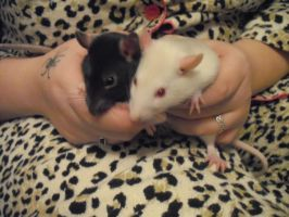 Ratties by geneticallymodified