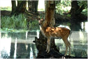 Fallow Deer by grugster