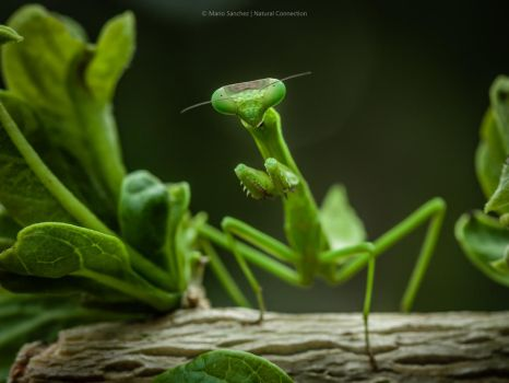 Mantis 4. by MCN22