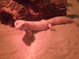 Auzzie my Leopard Gecko by Froodals