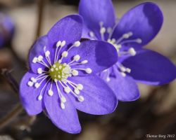 Hepatica nobilis 2 by ThereseBorg