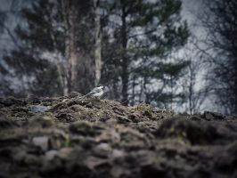 White Wagtail on Field by FinJambo