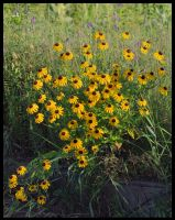 Bunch of Susans by barcon53
