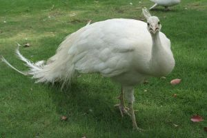 111 - Albino peacock by emilie-stock