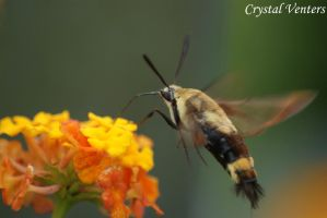 Snowberry Clearwing Moth by poetcrystaldawn