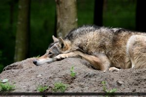 European Wolf 343 by Canisography