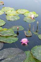 Water lily Stock 08 by Malleni-Stock