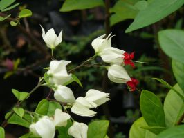 Clerodendrum  thomsoniae by Otoff