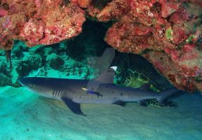 Shark Species ID: WhiteTip Reef Shark by Namyr