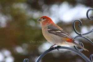 Pine Grosbeak II by Sagittor