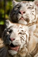 5637 - White Tiger cubs by Jay-Co