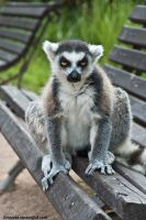 Ring-tailed Lemur by amrodel